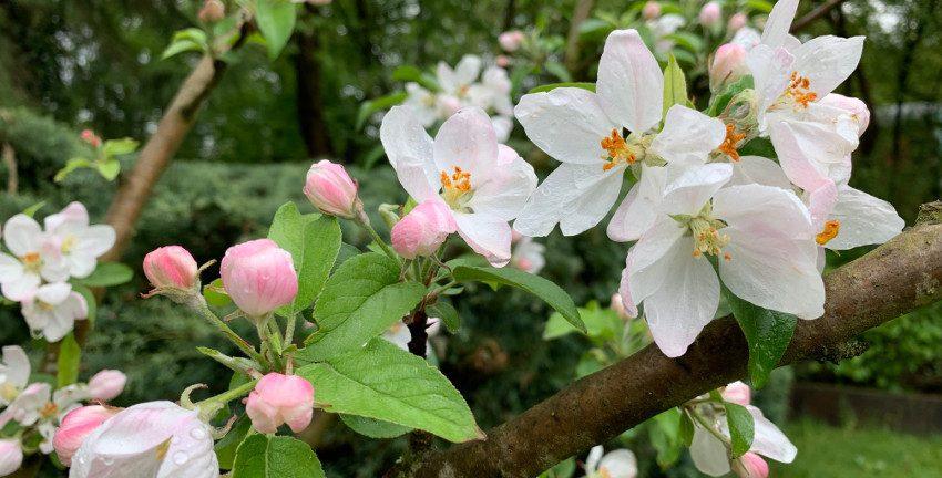 Apfelblüte, Foto: Marc Buttler