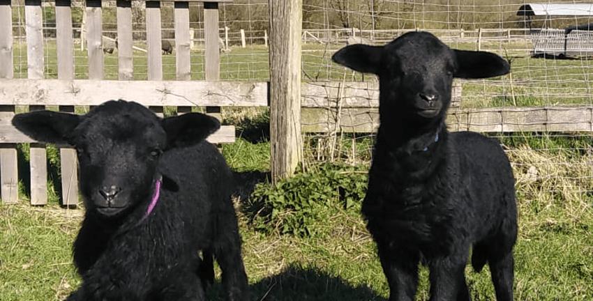 Schafe Hermine und Herbert auf dem Gut Karlshöhe (Foto: Gabriel Krümmel)